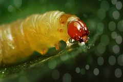 The Caterpillar eats the leaves, green leaves above. green background. The Caterpillar eats the leaves, green leaves above. green background stock images