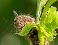 The caterpillar eats the leaves of the tree. Fluffy caterpillar feeds on woody foliage, outdoors super macro Stock Photos