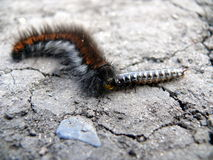 Caterpillar eats other insect Royalty Free Stock Photos