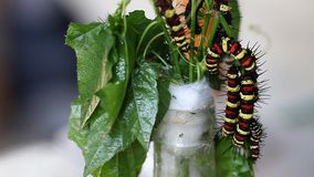 Caterpillar eines tropischen Schmetterlinges Tropische Insekten stock video