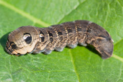 Caterpillar of Elephant Hawk-moth. (Deilephila elpenor), on a green leaf Royalty Free Stock Image