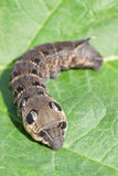 Caterpillar of Elephant Hawk-moth. (Deilephila elpenor), on a green leaf Stock Images