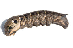 Caterpillar of Elephant Hawk-moth Royalty Free Stock Photos