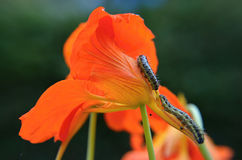 Caterpillar en la flor anaranjada Foto de archivo libre de regalías