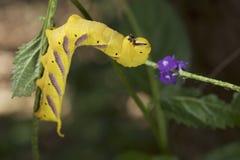 Caterpillar en Papúa Nueva Guinea Foto de archivo libre de regalías