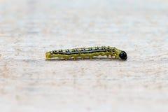 Caterpillar encajona la polilla o Cydalima BO perspectalisCaterpillar del árbol Fotos de archivo libres de regalías