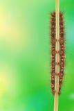 Caterpillar Euthrix potatoria Stock Photo