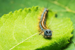 Caterpillar Euthrix potatoria Stock Images
