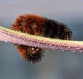 Caterpillar för ullig björn krypning på en stam Royaltyfri Foto
