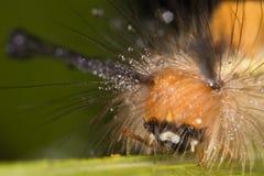 Caterpillar Face Closeup Stock Photography