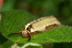 Caterpillar face macro Royalty Free Stock Images