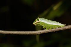 Caterpillar of Five bar swordtail butterfly (antiphates pompiliu Stock Photos