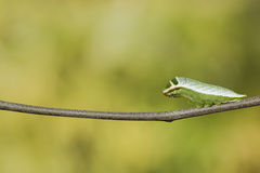 Caterpillar of Five bar swordtail butterfly (antiphates pompilius) stock photography