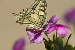 Caterpillar fjäril Arkivfoto