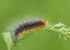 Caterpillar flaming bear Kaya Stock Image