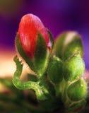 Caterpillar on a flower. Close up of green caterpillar on a beautiful red flower stock photography