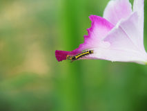 Caterpillar on a flower Royalty Free Stock Photography