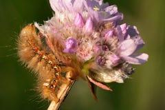 Caterpillar on a flower clover 1. Very hairy caterpillar (Acronicta rumicis) on a purple flower clover Stock Photography