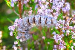 Caterpillar of Fox moth climbing in Heather Stock Image