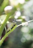 Caterpillar för monarkfjäril äta Fotografering för Bildbyråer