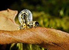 Caterpillar in Fragas do Eume, A Coruña, Spain Royalty Free Stock Photos