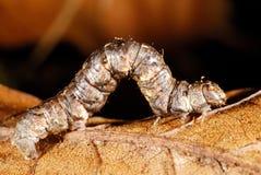 Caterpillar in Fragas fa Eume, un Coruña, Spagna Fotografie Stock Libere da Diritti