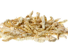Caterpillar Fungus Isolated. Caterpillar fungus, Vegetable Caterpillar or Yarsagumba is a Chinese medicine product that is a result of a parasitic relationship royalty free stock image
