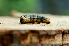 A caterpillar is a fuzzy, worm-like insect that transforms into a butterfly or a moth. royalty free stock images