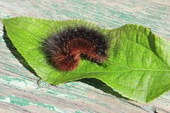 Caterpillar of Garden tiger moth Stock Photos