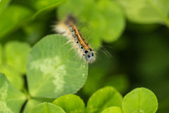 The caterpillar Stock Photography