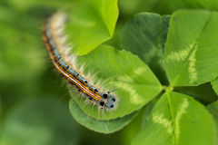 The caterpillar Royalty Free Stock Image