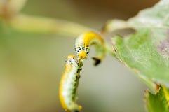 Caterpillar genomskärning Royaltyfri Bild