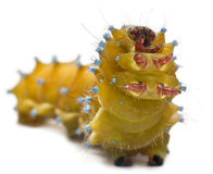 Caterpillar of the Giant Peacock Moth Royalty Free Stock Photography