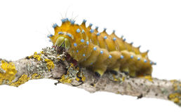 Caterpillar of the Giant Peacock Moth Royalty Free Stock Photo