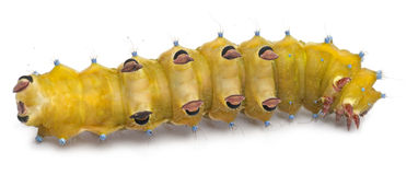 Caterpillar of the Giant Peacock Moth Royalty Free Stock Image