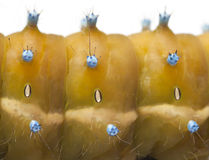 Caterpillar of the Giant Peacock Moth Stock Photos