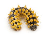 Caterpillar of Giant Peacock Moth, 15 days old, Saturnia pyri. Against white background stock image