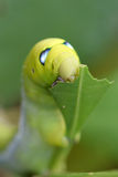 Caterpillar-Grün, das Blattnahaufnahme isst Lizenzfreie Stockbilder