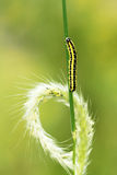 Caterpillar and grass ear Royalty Free Stock Photo