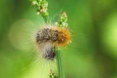 Caterpillar on grass Royalty Free Stock Photos
