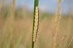 Caterpillar. On the grass. Macro view Royalty Free Stock Photos