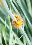 Caterpillar in the grass Royalty Free Stock Photo