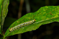 Caterpillar of great Assyrian (Terinos atlita) butterfly Stock Image