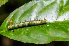 Caterpillar of great Assyrian (Terinos atlita) butterfly Royalty Free Stock Photos
