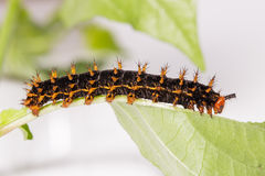 Caterpillar of great eggfly butterfly Royalty Free Stock Photography