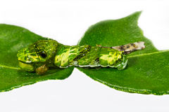 Caterpillar of great mormon butterfly Stock Photo