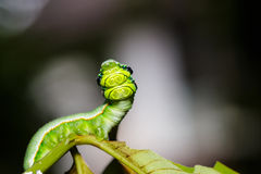Caterpillar of great orange tip butterfly Stock Photo