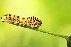 Caterpillar on a green background Royalty Free Stock Images