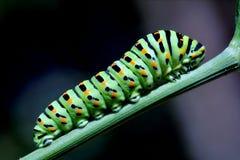 Caterpillar  on green branch Royalty Free Stock Photos