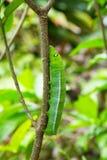 Caterpillar on green bush Stock Photography